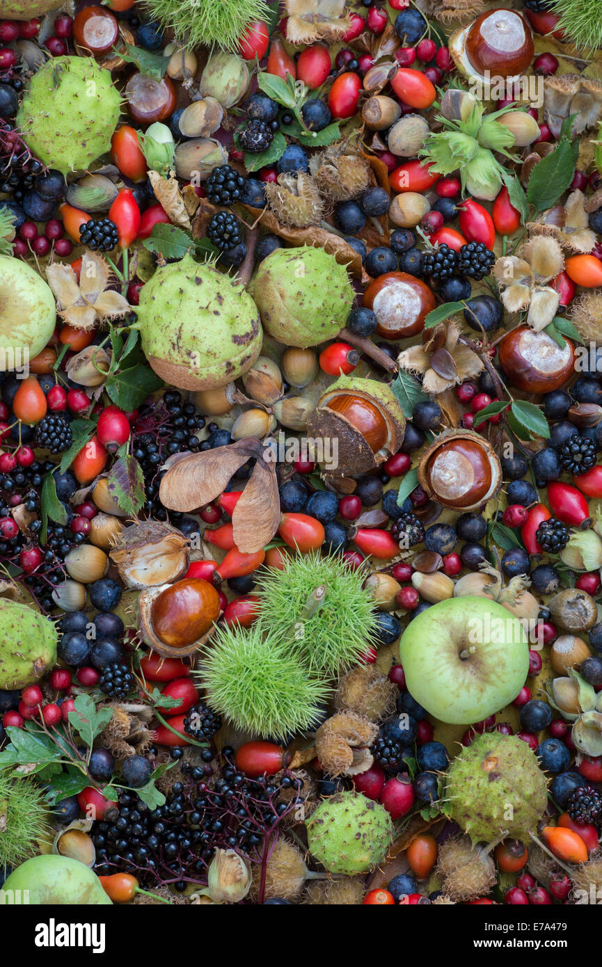 Foraged autumn woodland and hedgerow fruits, nuts and ...