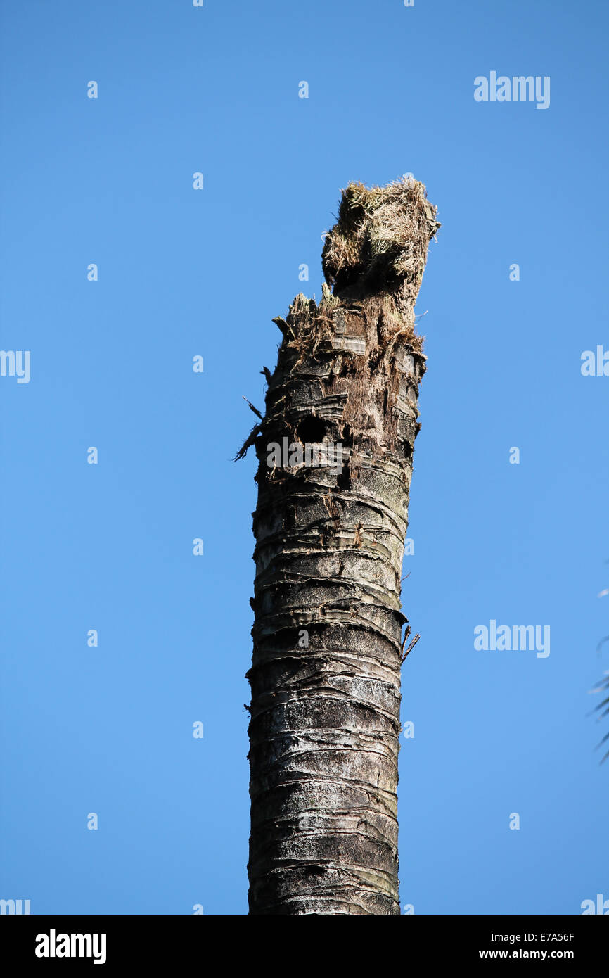 Old Dead Coconut Tree - Stock Image