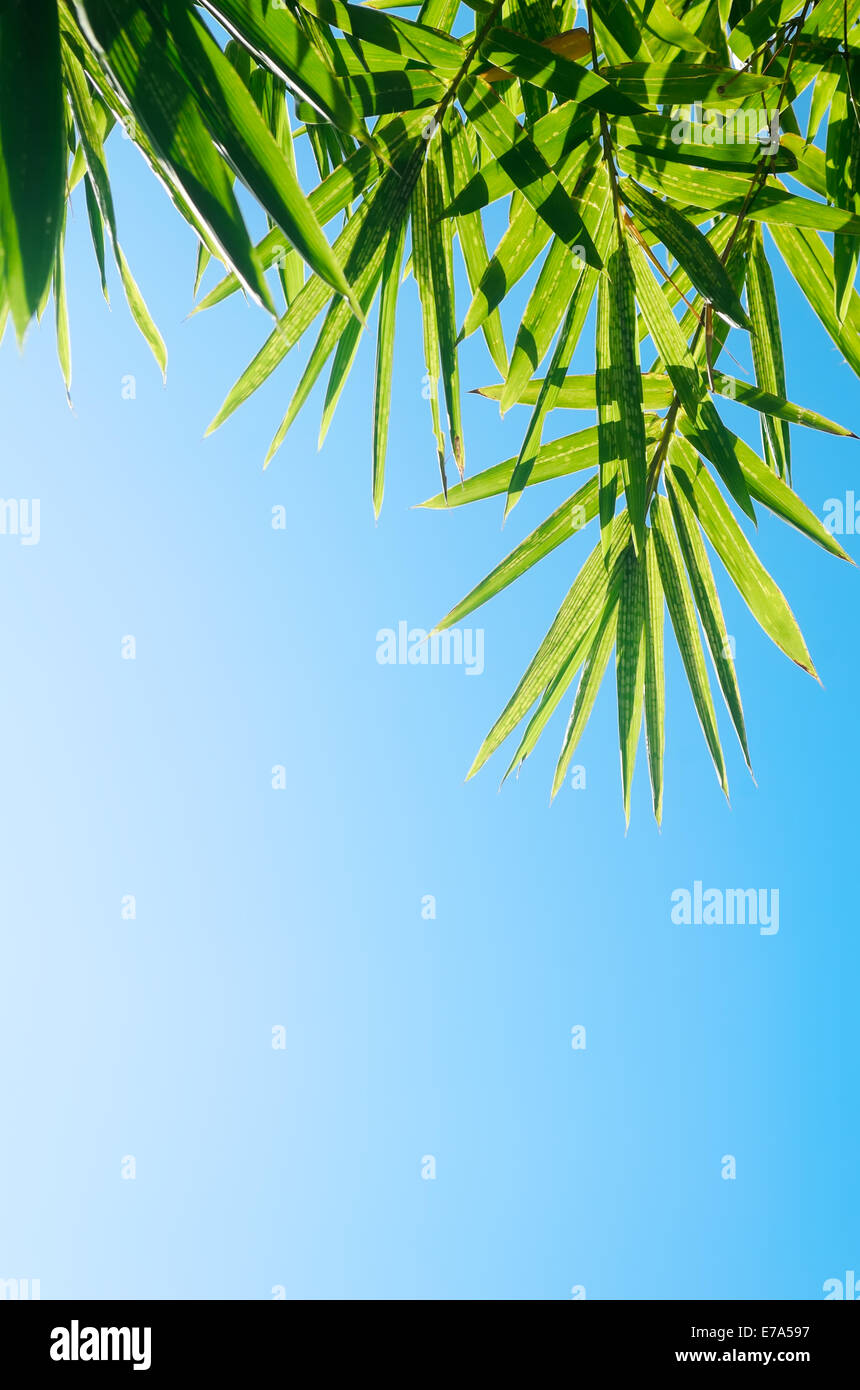 Green bamboo leaves shot against a bright blue morning sky - Stock Image