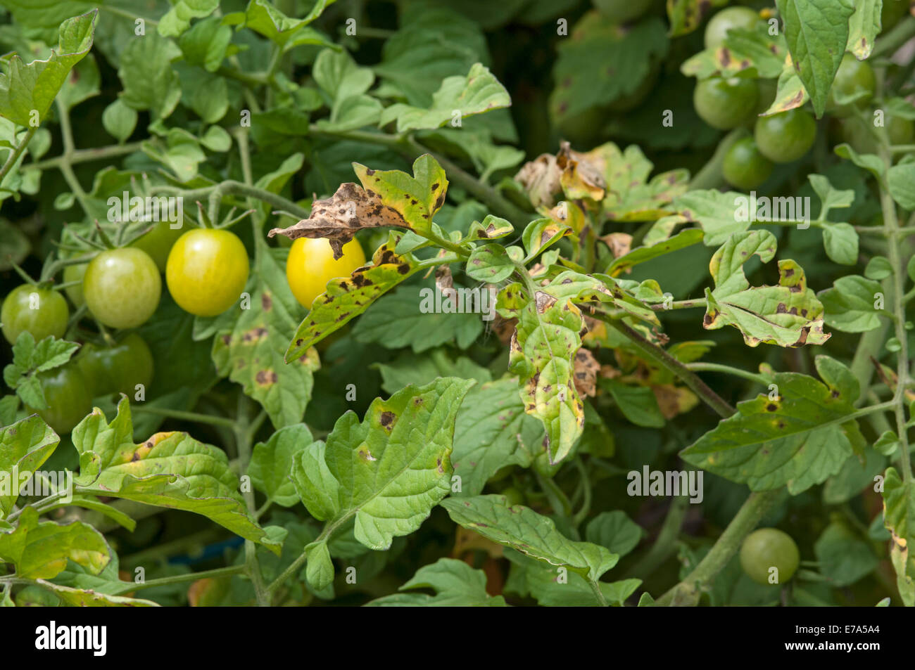 Target spot symptoms on tomato plants - Stock Image