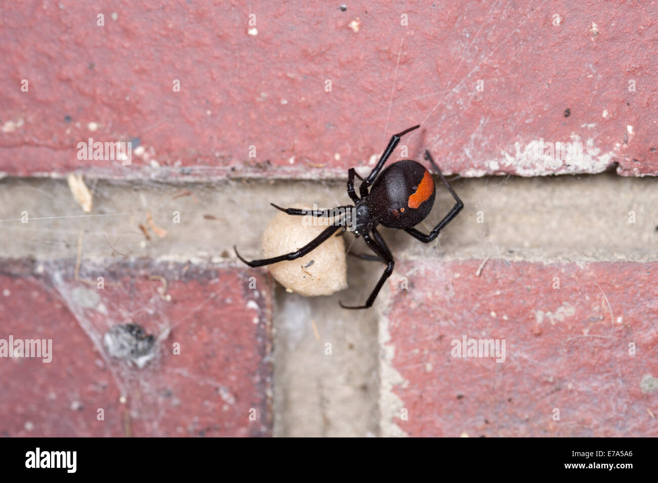 Australian female red-back spider with egg sac - Stock Image