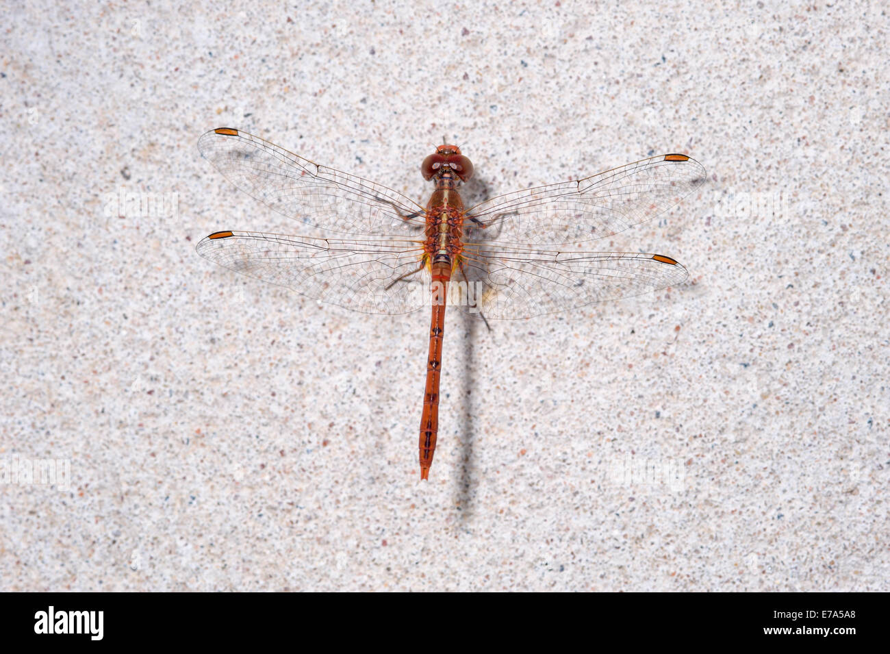 Red eastern hawk dragonfly Stock Photo