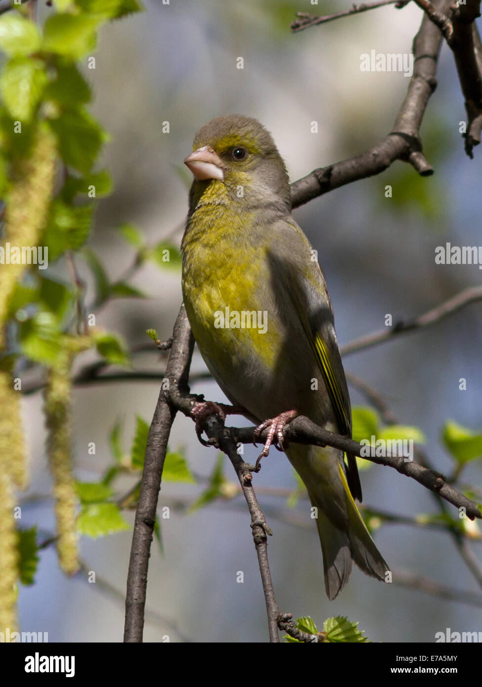 male greenfinches, which sits on a branch of birch spring day - Stock Image