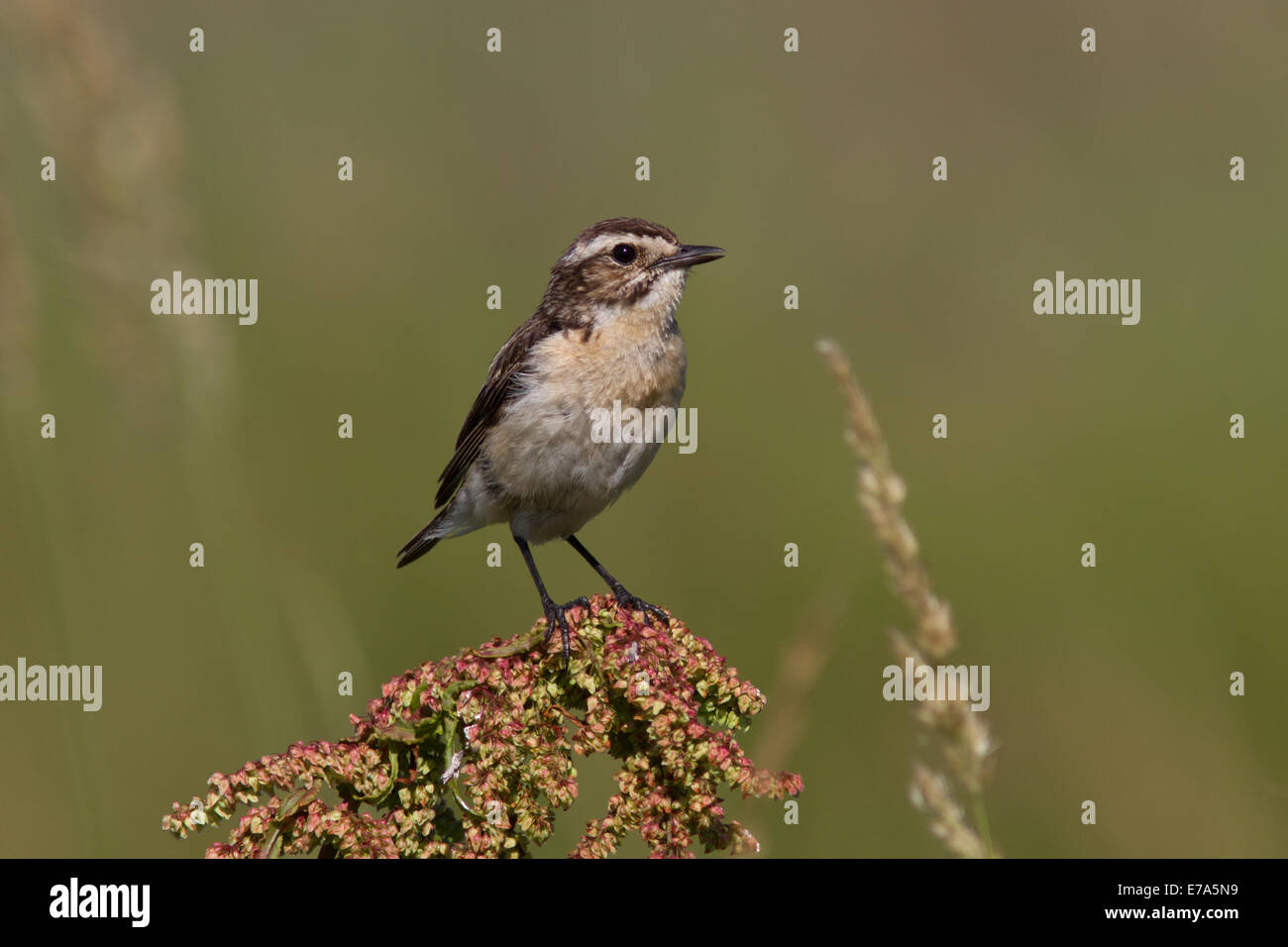 young whinchat which sits on a branch on a summer day - Stock Image