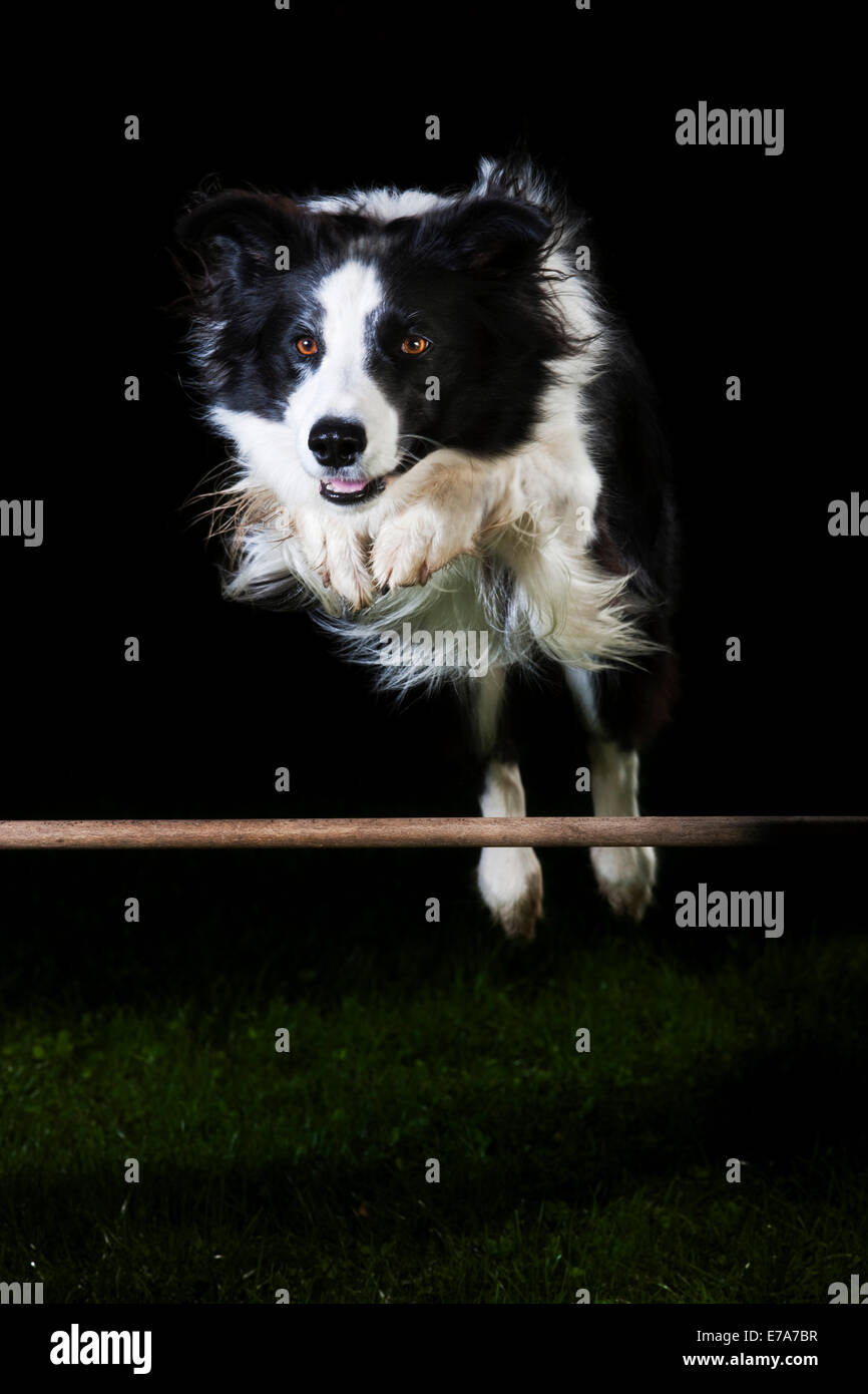Border Collie, black and white, jumping over an obstacle - Stock Image