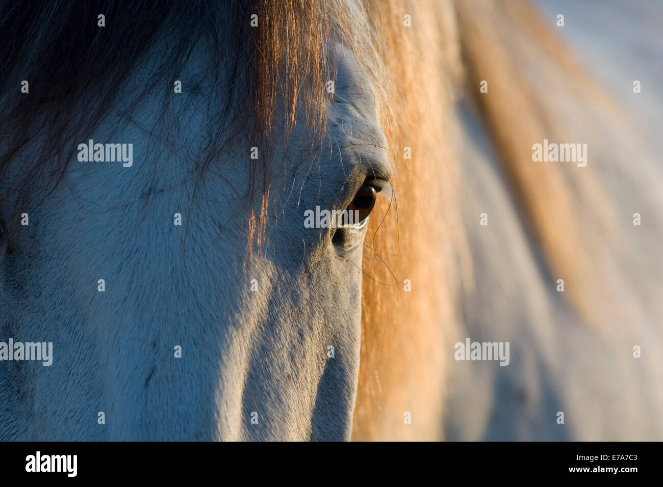 Lusitano horse, gelding, white horse, Andalusia, Spain Stock Photo