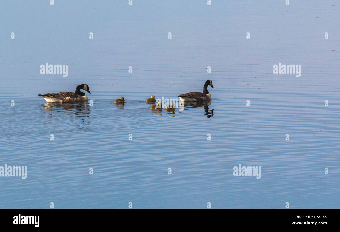Canada geese, Branta canadensis, with chicks swimming on lake - Stock Image