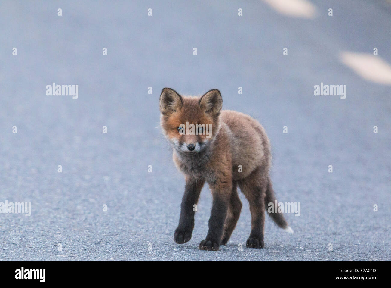 Redfox puppy walking on road in Gällivare swedish lapland - Stock Image