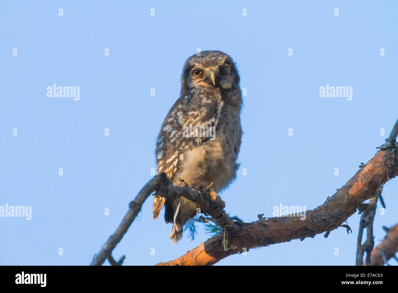 Juvenile Northern hawk-owl, Surnia ulula sitting in a pine tree looking into camera and blinking with one eye, Gällivare, - Stock Image