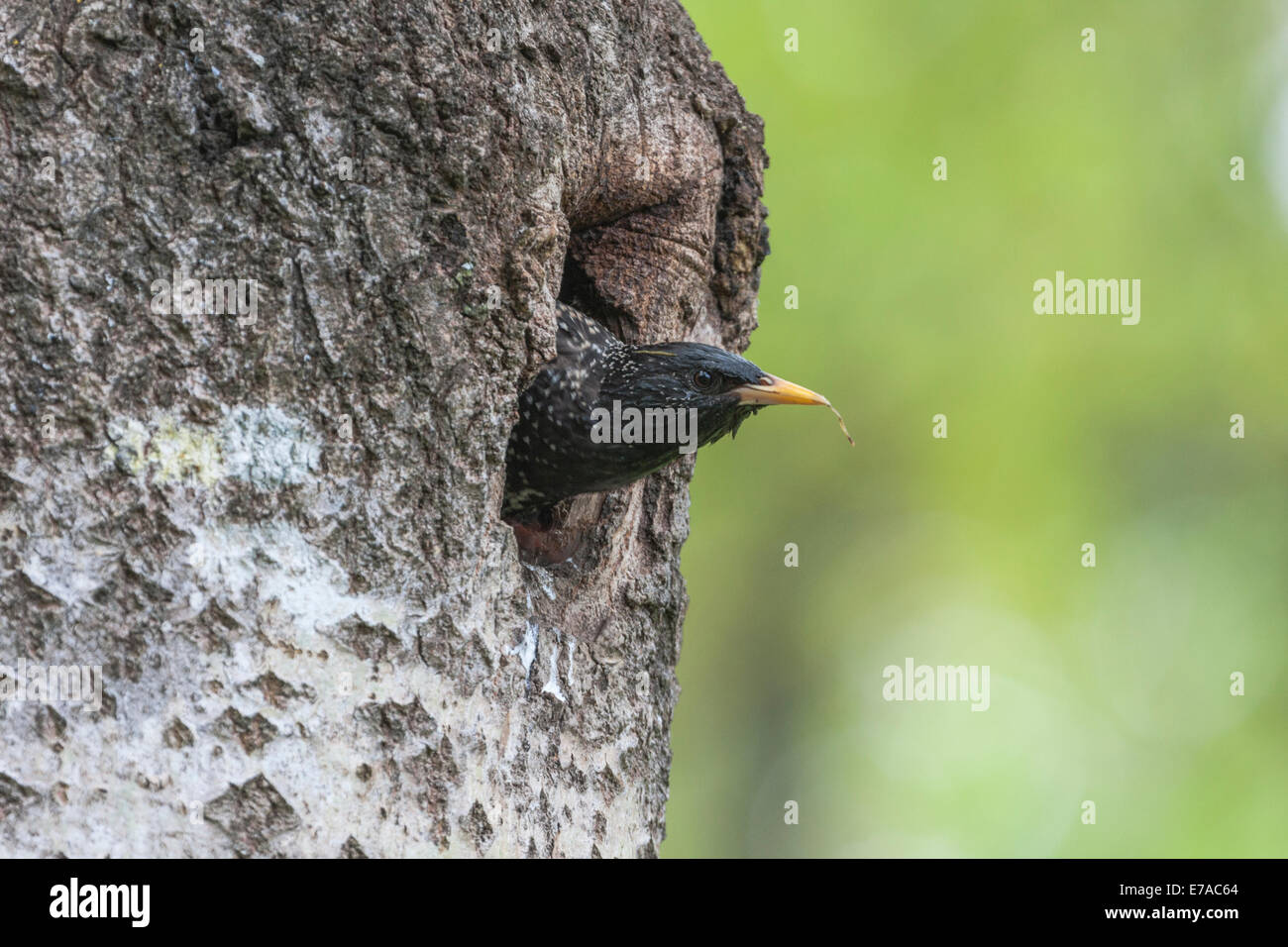 Starling, Sturnus vulgaris, peeking out from his nest in a birch tree - Stock Image