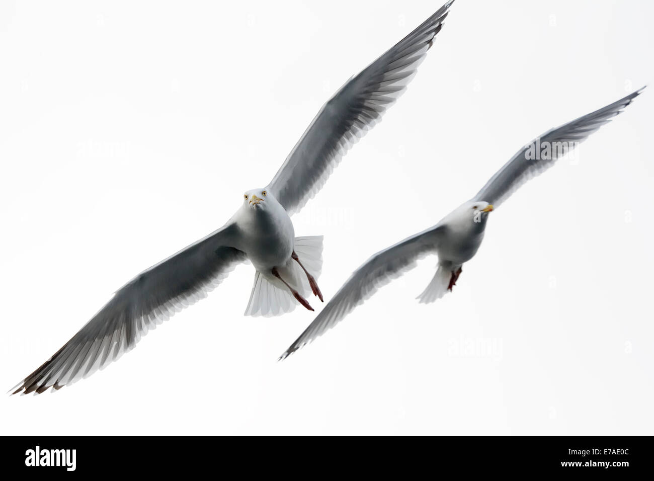 Herring gull (Larus argentatus) flying against white sky with second gull in background. - Stock Image