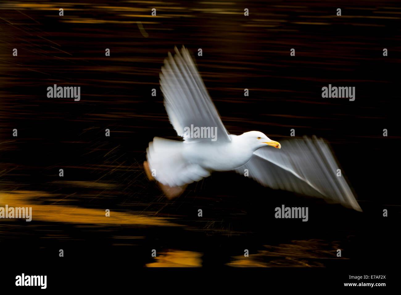 Herring gull (Larus argentatus) flying with slow shutterspeed. - Stock Image