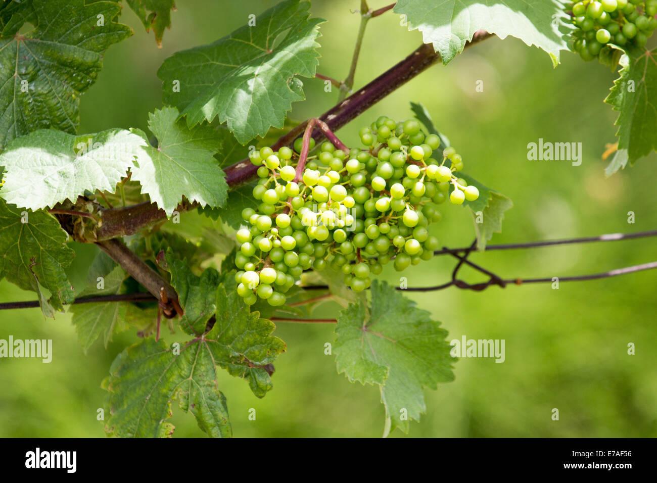 Green grapes on vine Stock Photo