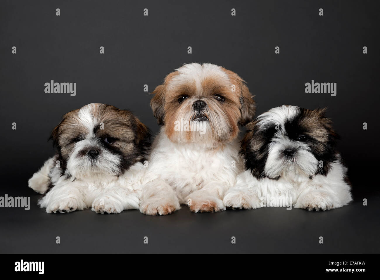 Shih Tzu Puppies 10 Weeks Colour Gold White Stock Photo 73375901