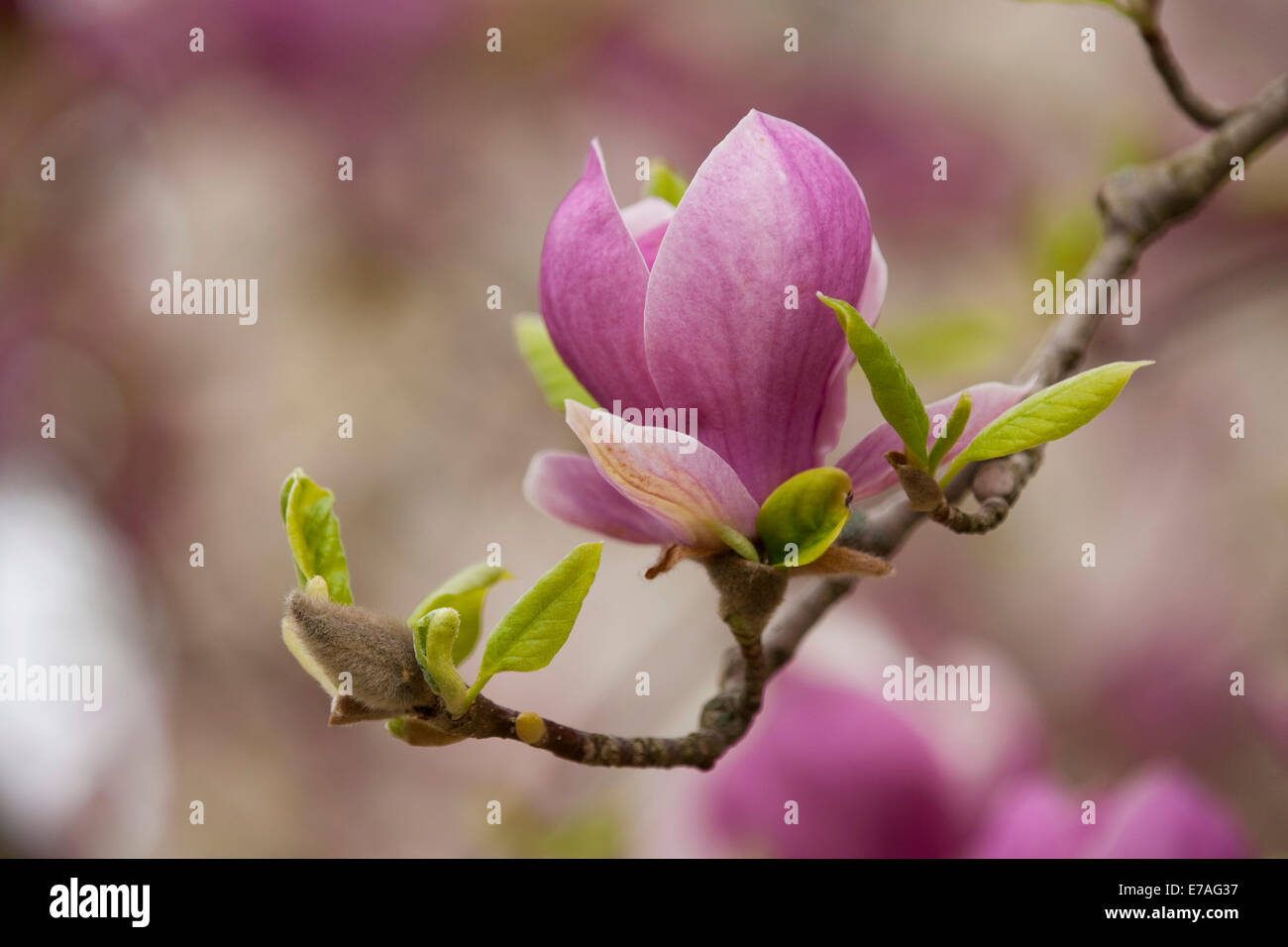 Saucer Magnolia (Magnolia x soulangeana), flowering, Thuringia, Germany - Stock Image