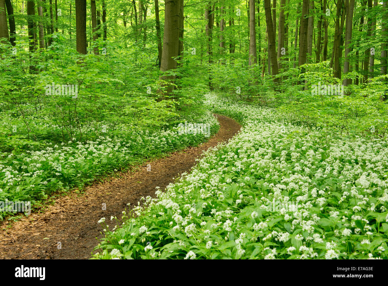 Path in a spring forest, flowering Wild Garlic or Ramsons (Allium ursinum), Hainich National Park, Thuringia, Germany - Stock Image
