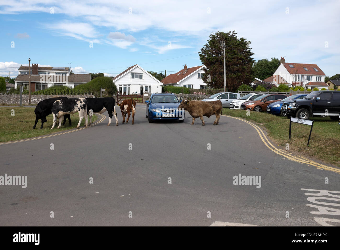 Cows crossing road in front of car wandering lost - Stock Image