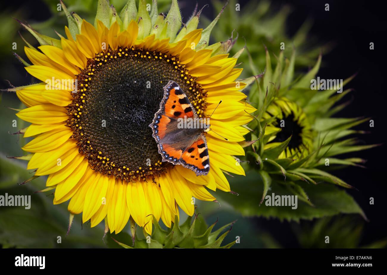 Small Tortoiseshell butterfly feeding on sunflowers - Stock Image
