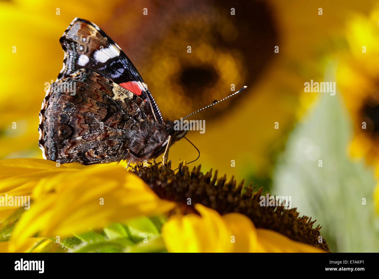 Red Admiral butterfly feeding on sunflowers in an English cottage ...