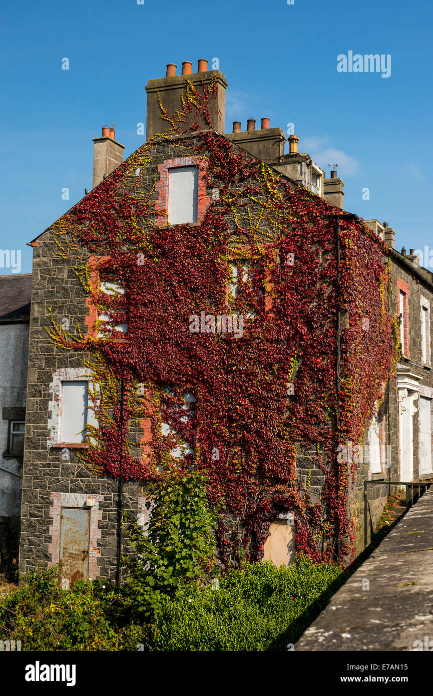 End of terrace house gable wall covered in Ivy, Bushmills, County Antrim, Northern Ireland. - Stock Image