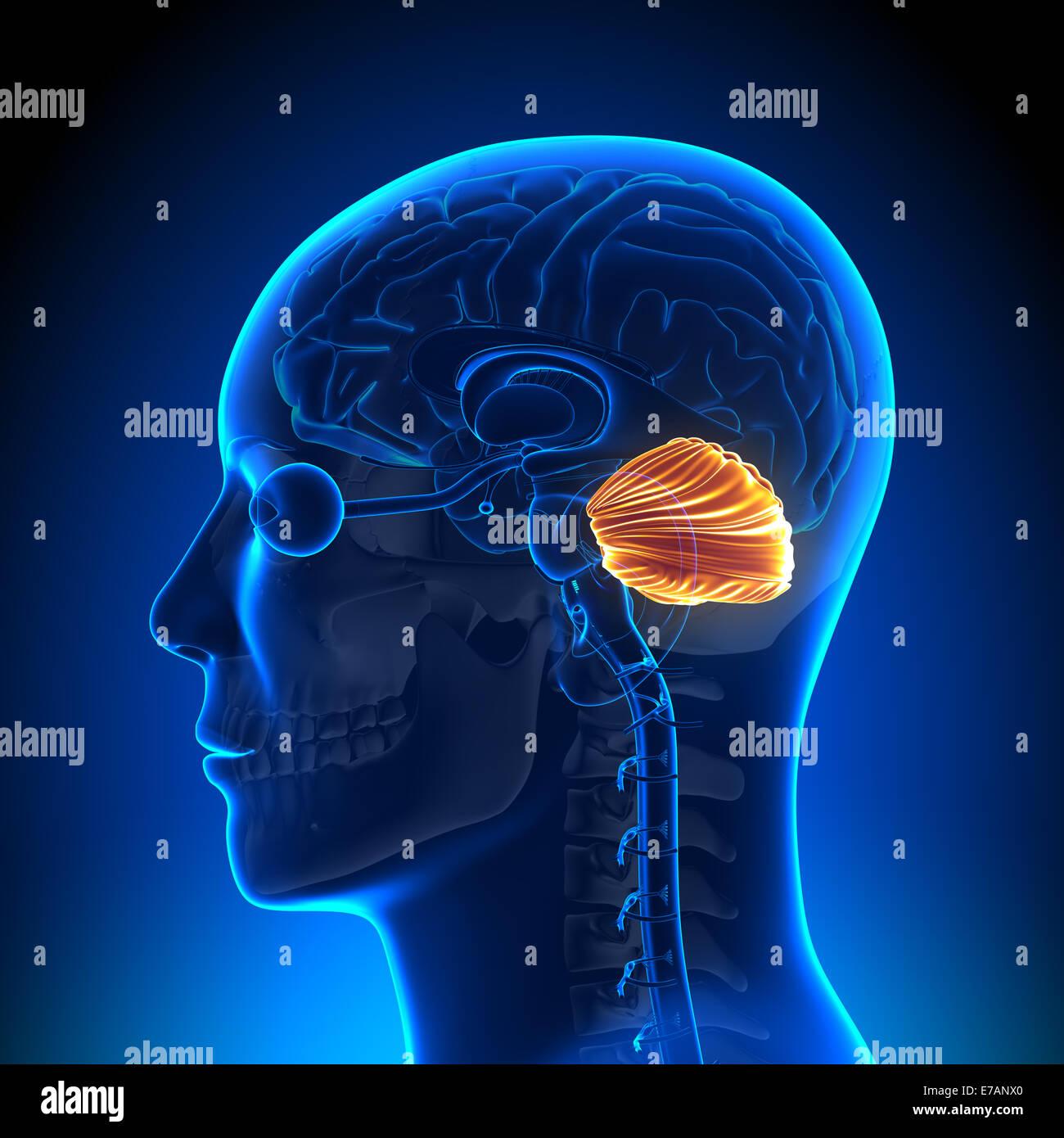 Cerebellum - Brain Anatomy - Stock Image