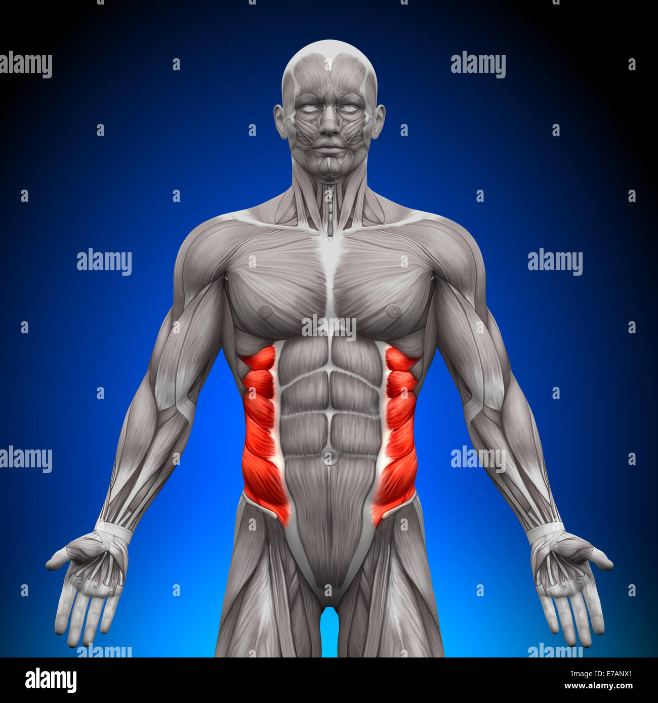 External Oblique - Anatomy Muscles - Stock Image