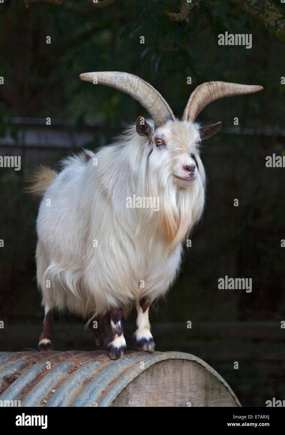 Afriican Pygmy Goat - Stock Image