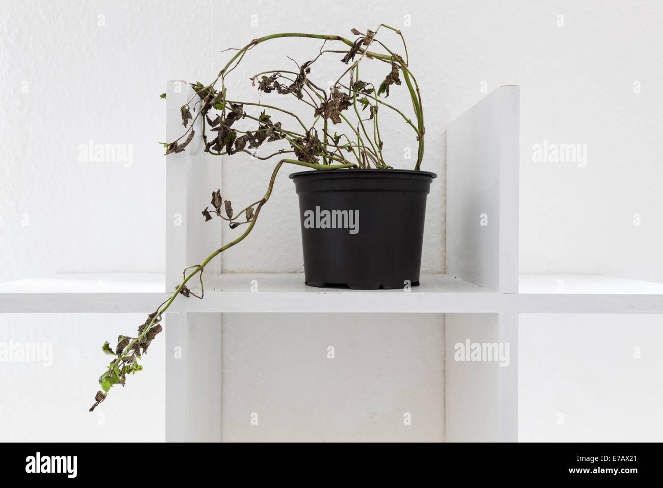 Almost dead or dying plant in a pot on a plain white shelf - Stock Image