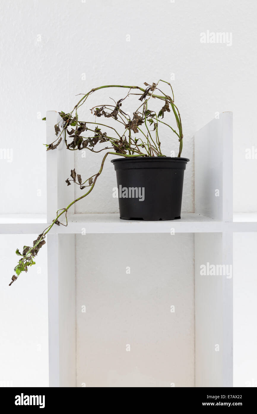 Dying or nearly dead plant in a pot on a plain white shelf - Stock Image