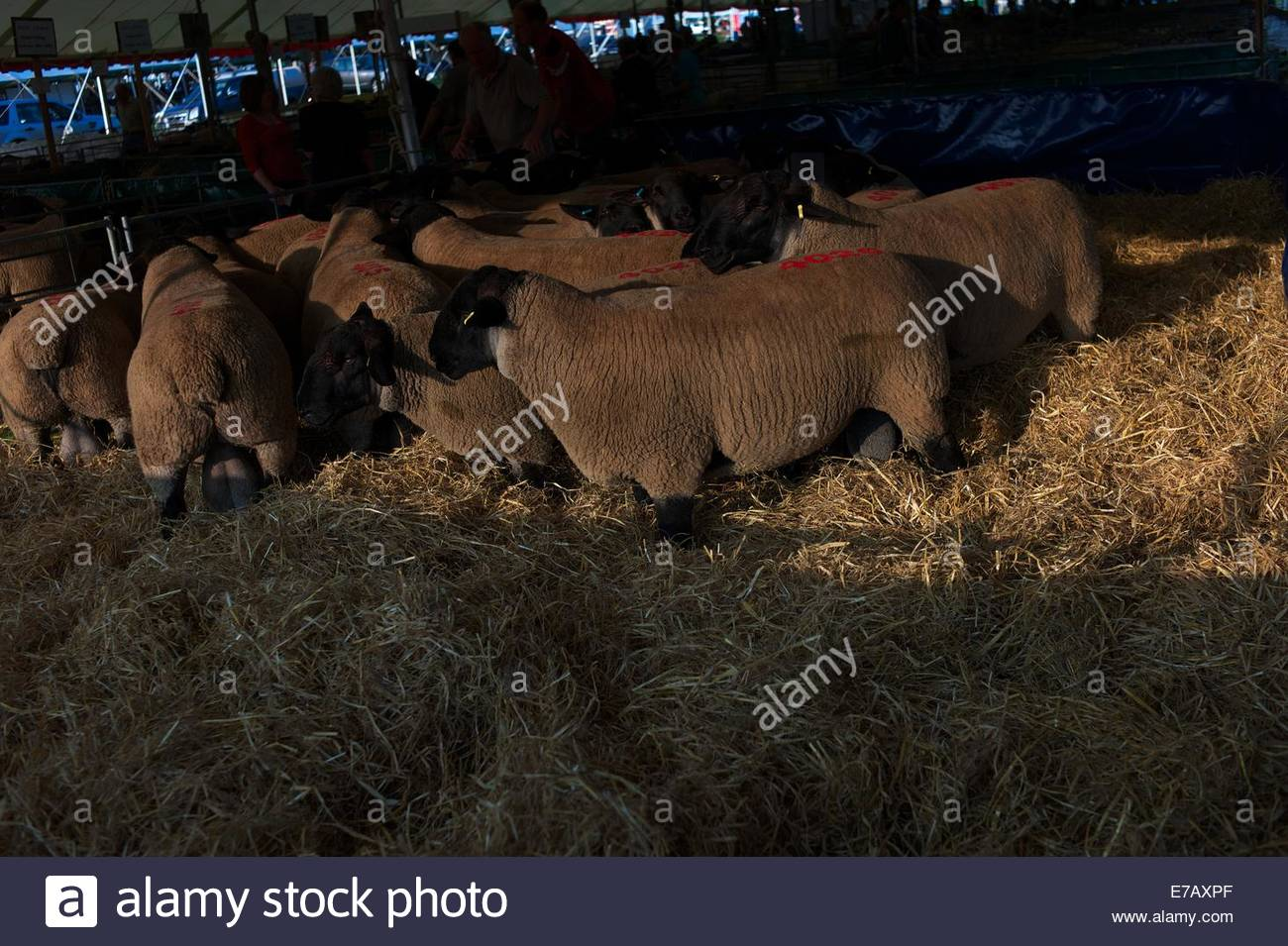 a5bf32d2 Kelso Ram Sales Stock Photos & Kelso Ram Sales Stock Images - Alamy