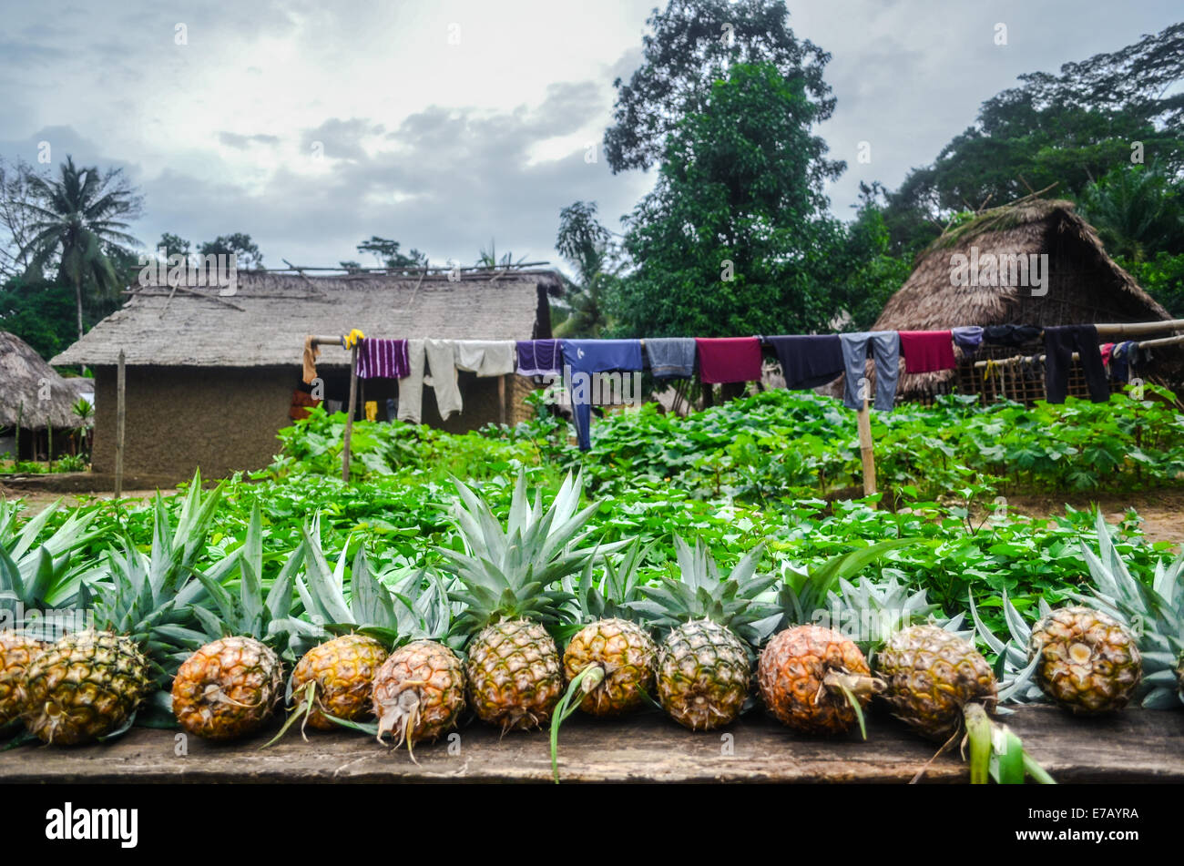 Pineapples for sale by the road in a remote village of Sierra Leone - Stock Image