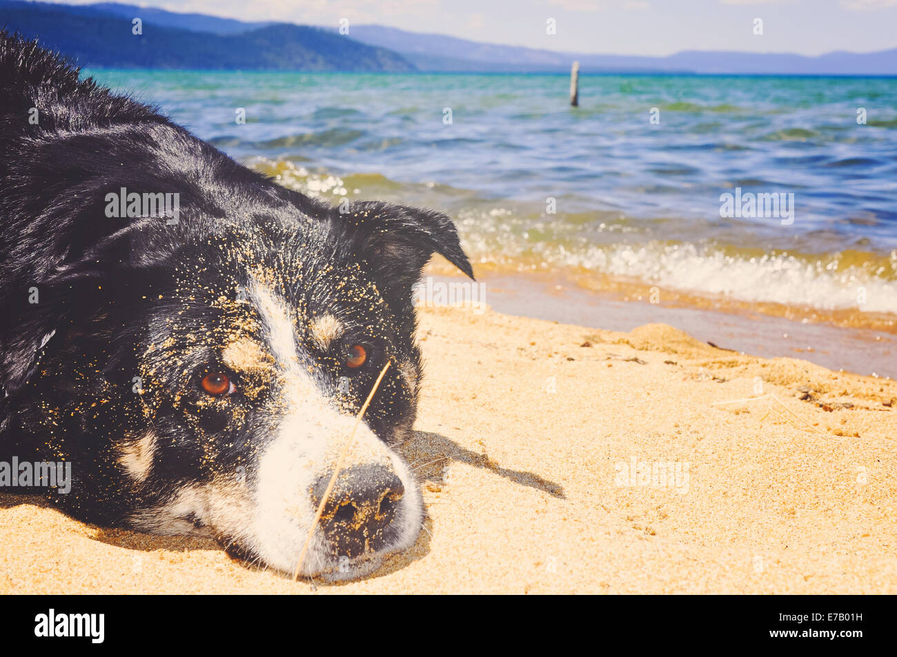 A happy family dog rests on the Sandy shores of blue Lake Tahoe dirty from the sand having fun in the sun. - Stock Image