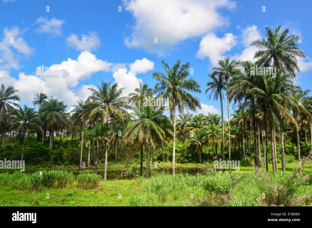 Palm trees, Sierra Leone, Africa - Stock Image