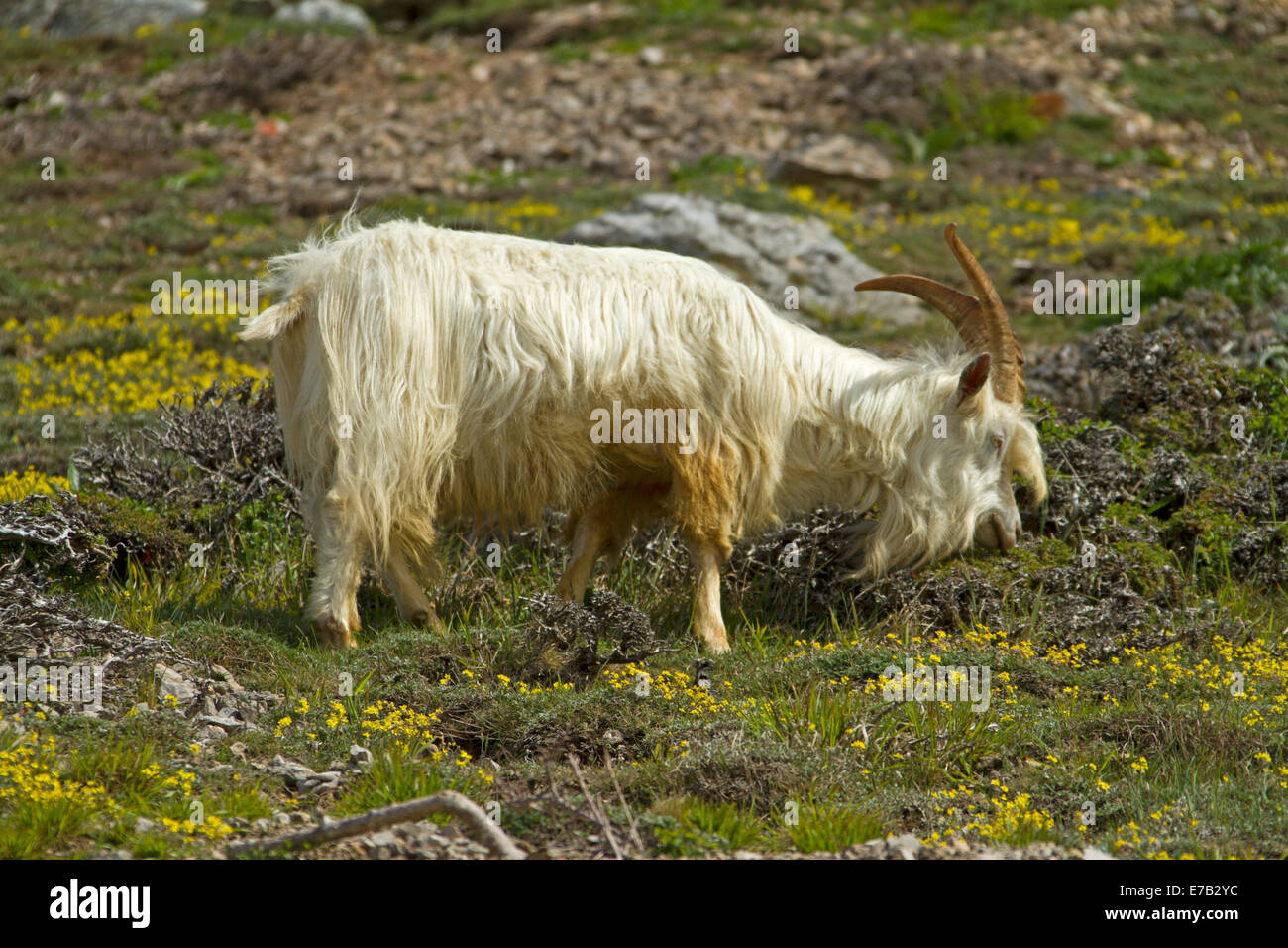 Kashmiri goat, with long shaggy white hair and horns, grazing among yellow wildflowers on slopes of Great Orme, - Stock Image