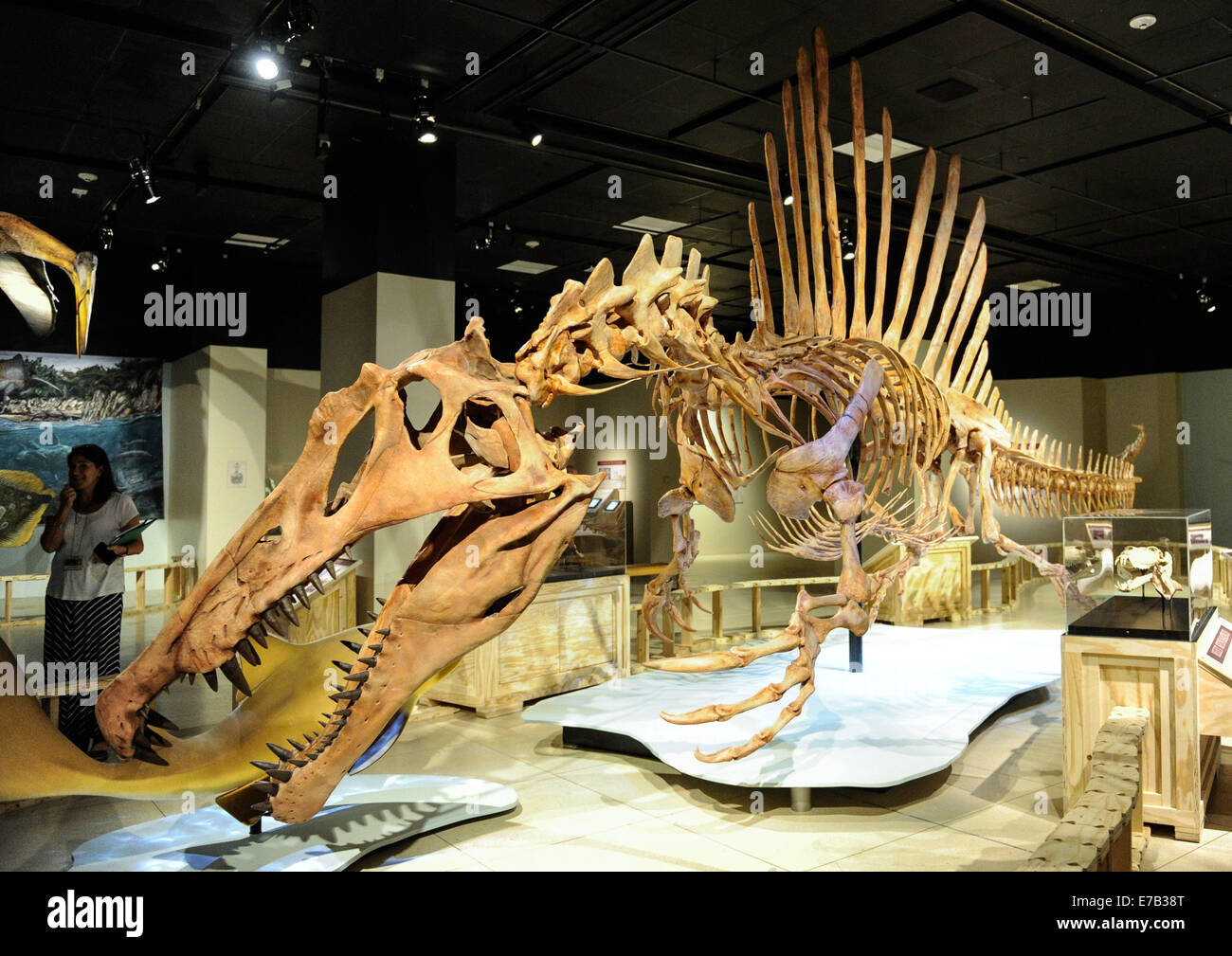 Washington, DC, USA. 11th Sep, 2014. An exhibition 'Spinosaurus: Lost Giant of the Cretaceous', featuring - Stock Image