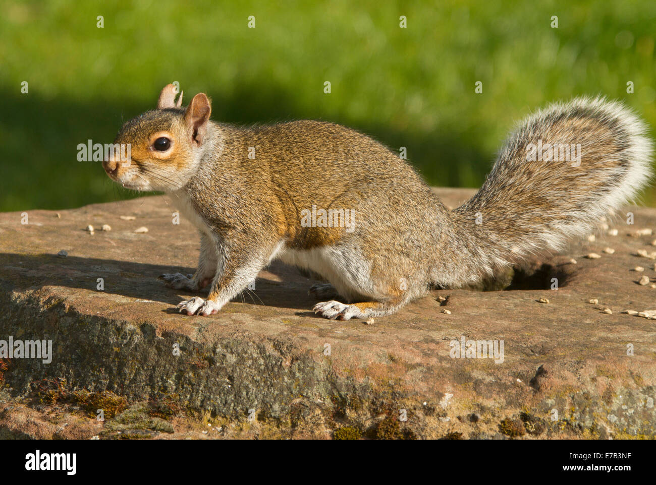Eastern grey squirrel, Sciurus carolinensis, an introduced species, on rock wall in parkland in city of Chester - Stock Image