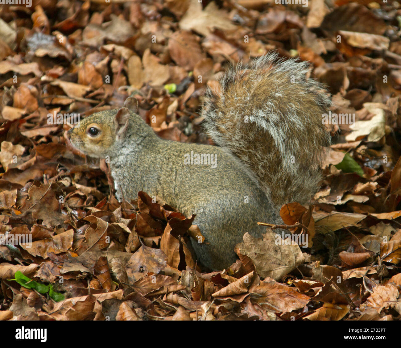 Eastern grey squirrel, Sciurus carolinensis, an introduced species, scampering among fallen autumn leaves in English - Stock Image