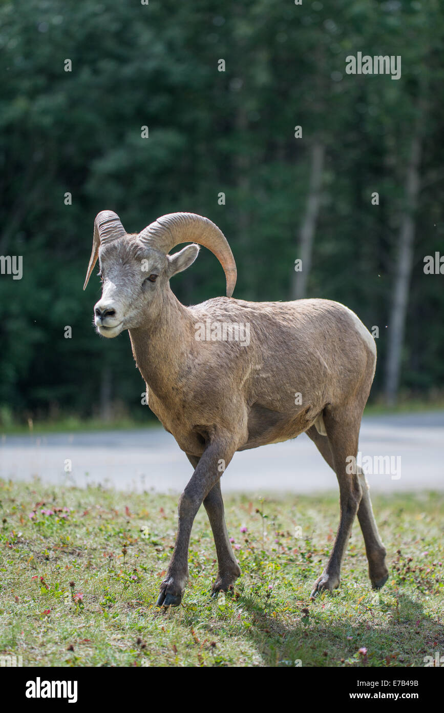 Bighorn Sheep in the Canadian Rockies - Stock Image