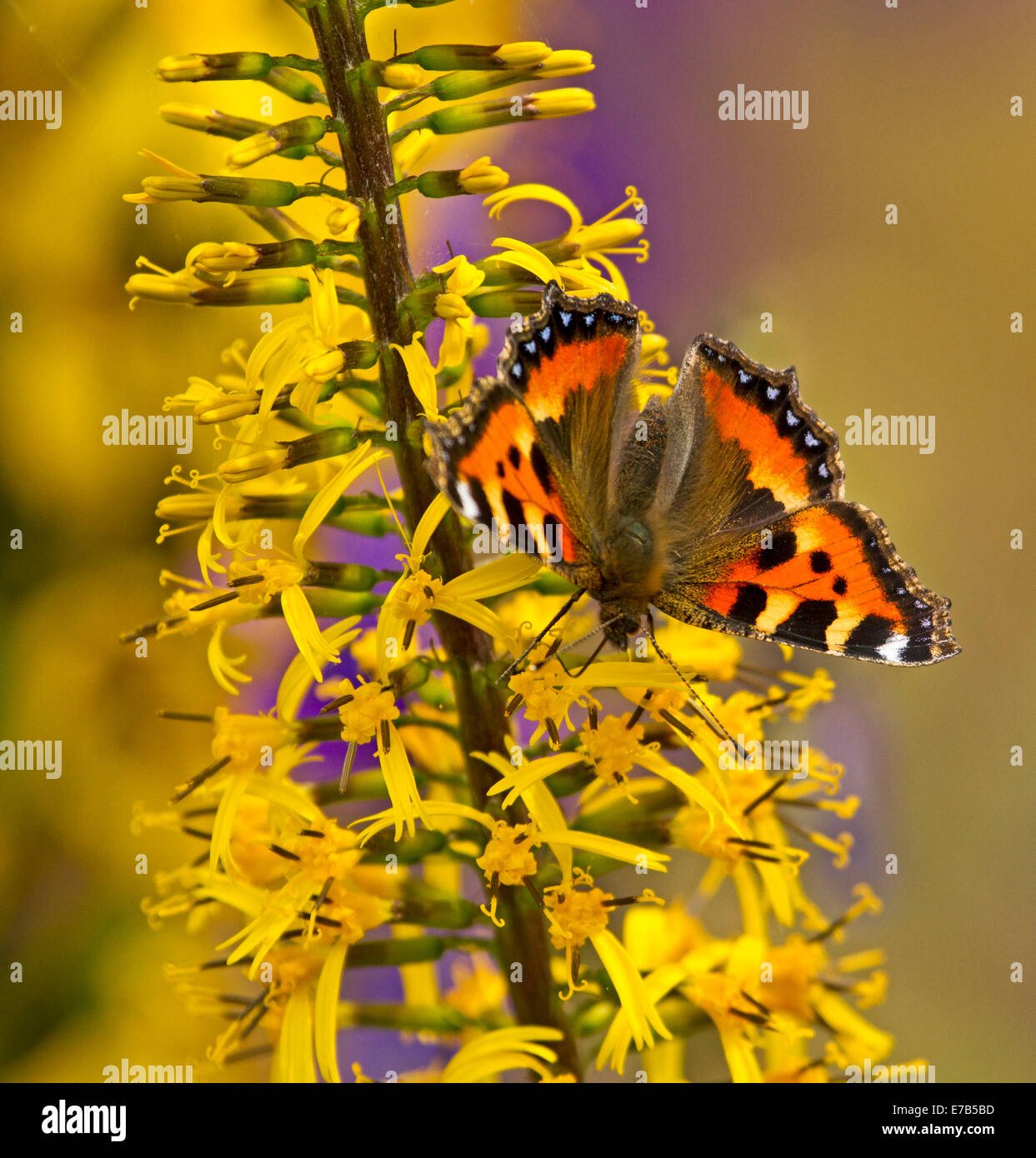Colourful orange & black British small tortoiseshell butterfly, Aglais urticae, on yellow flowers in garden - Stock Image