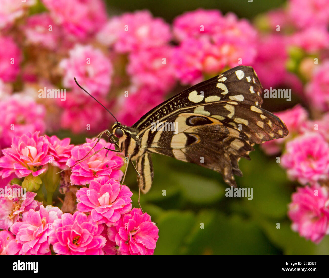 Attractive black and white butterfly feeding on cluster of  bright pink flowers - Stock Image