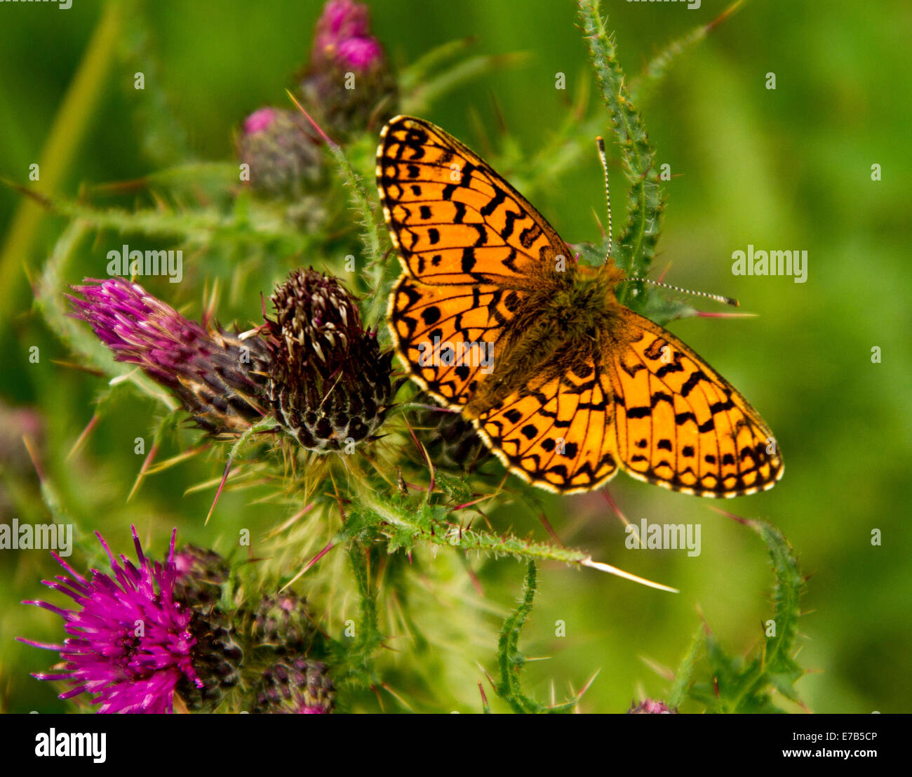 Bright orange & black British butterfly, pearl bordered fritillary, Boloria selene, on purple thistle flowers, - Stock Image