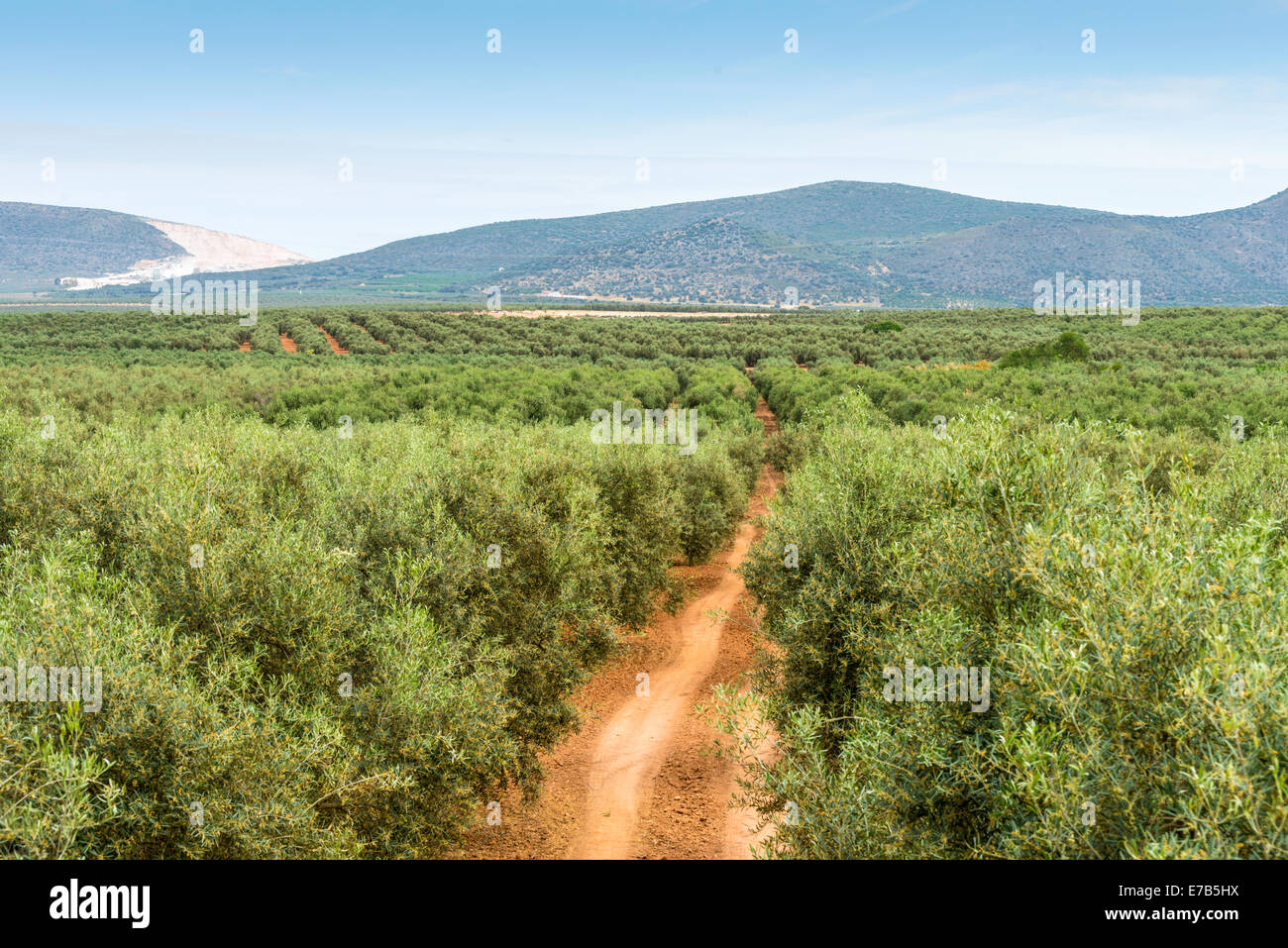 Panoramic view on olive and fruits trees planted in rows. Spain. - Stock Image
