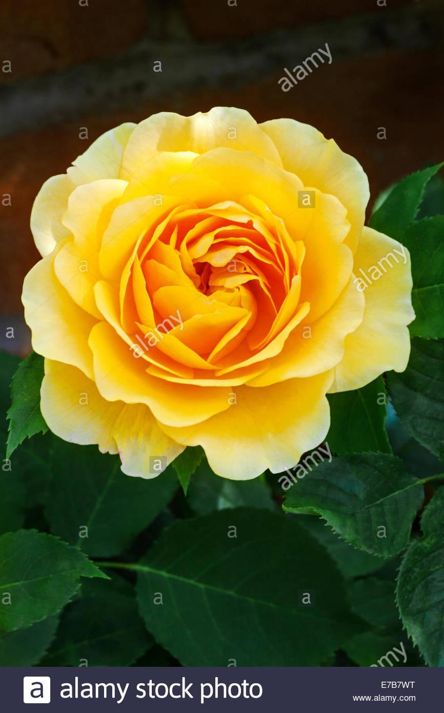 Rosa graham thomas david austin rose garden shropshire uk rosa graham thomas david austin rose garden shropshire uk altavistaventures Choice Image