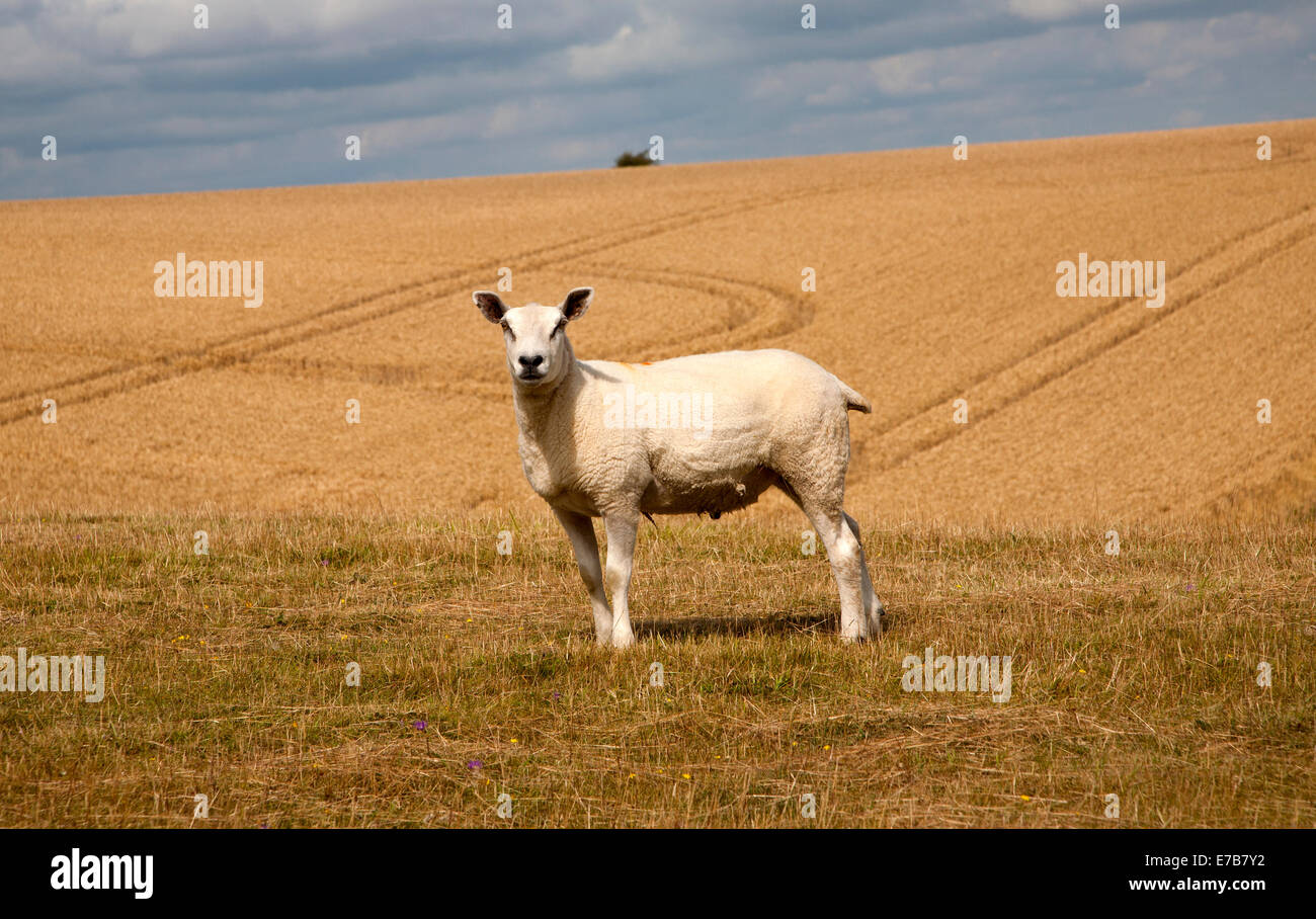 Close up of lone sheep standing on chalk downland, Marlborough Downs, Wiltshire, England - Stock Image