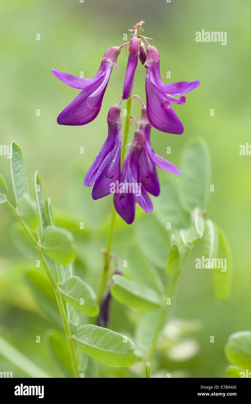 sweetvetch, hedysarum hedysaroides - Stock Image