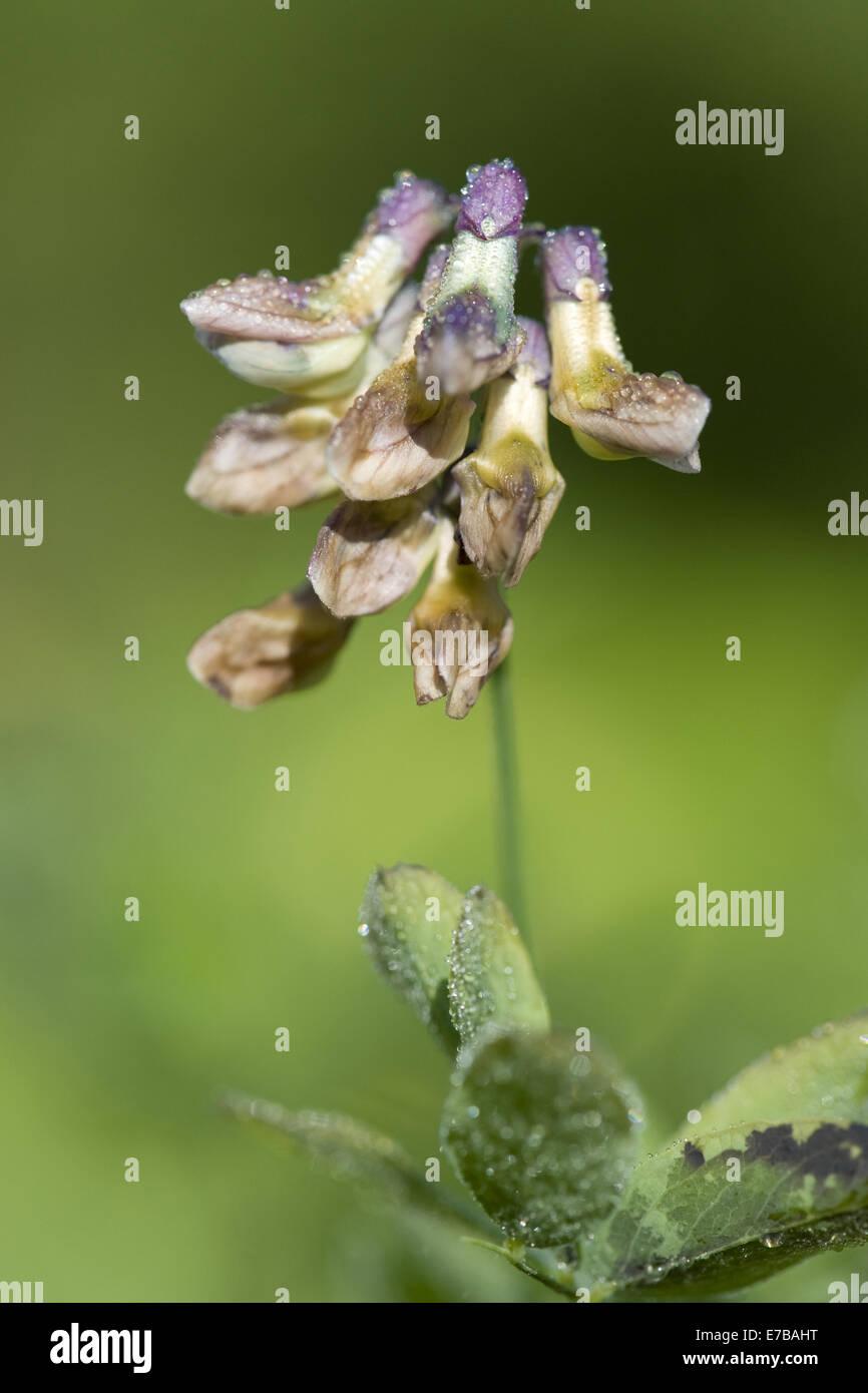 black pea, lathyrus niger - Stock Image