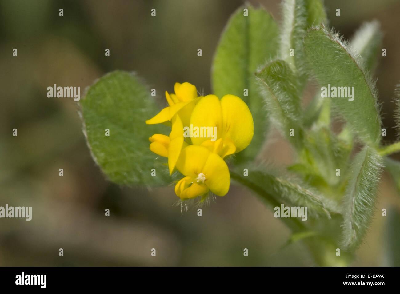 little bur medick, medicago minima - Stock Image