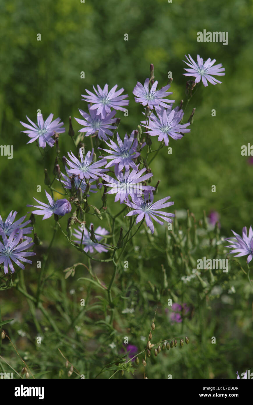hairless blue sow-thistle, cicerbita plumieri - Stock Image