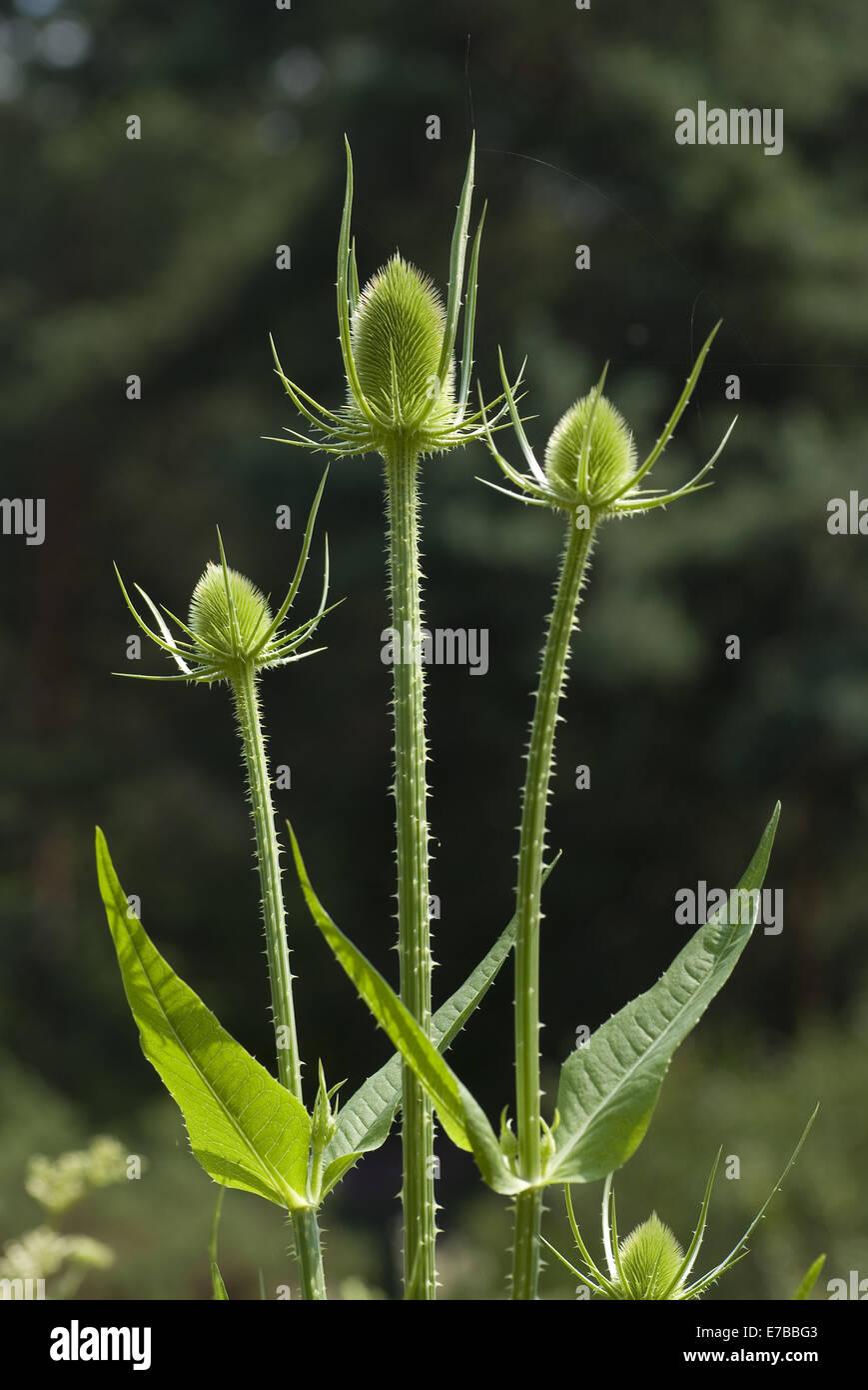 fuller's teasel, dipsacus fullonum - Stock Image
