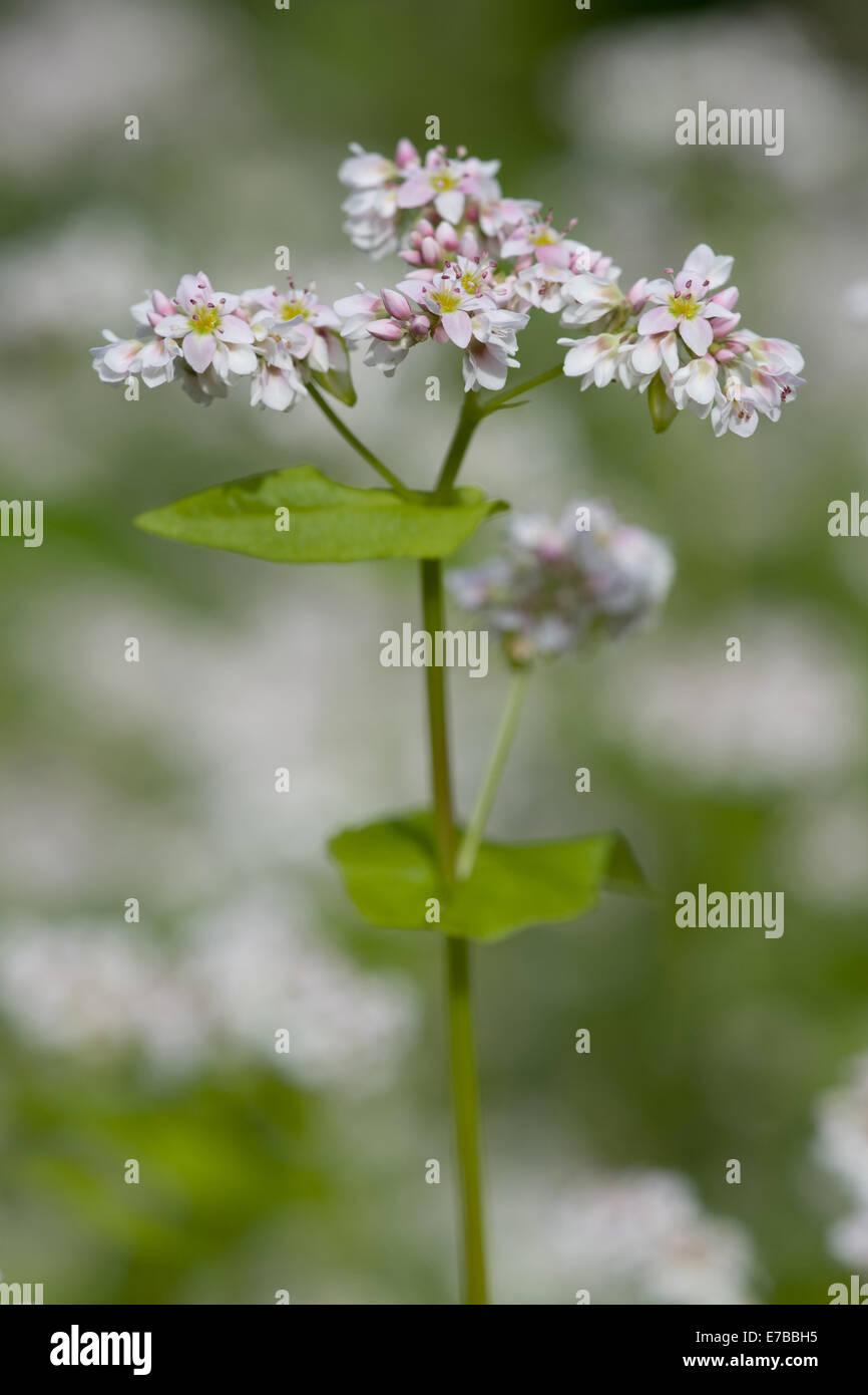 buckwheat, fagopyrum esculentum - Stock Image